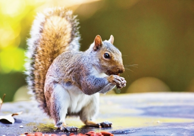 the-homelife_Pest-Prevention-against-Squirrels